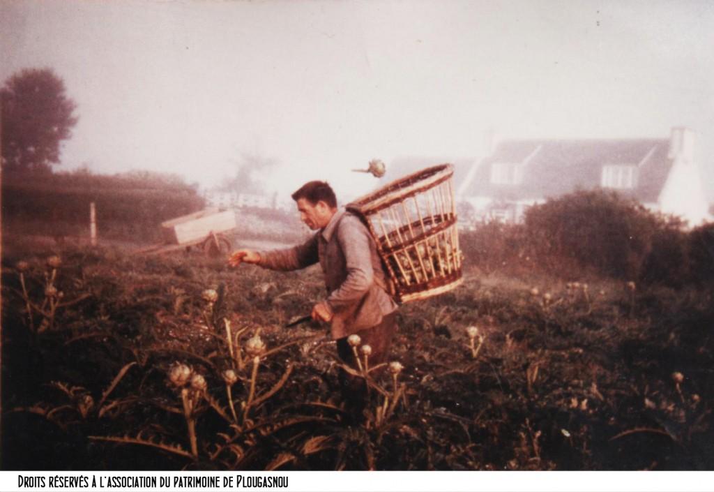 cueillette artichauts à Kermebel chez Jean Le Noan bandeau